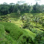 Bali - Reisterrassen in Ubud