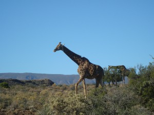 SÜDAFRIKA - Sanbona - Safari