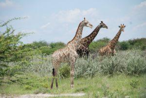Serengeti - Safari - Tansania -  Afrika
